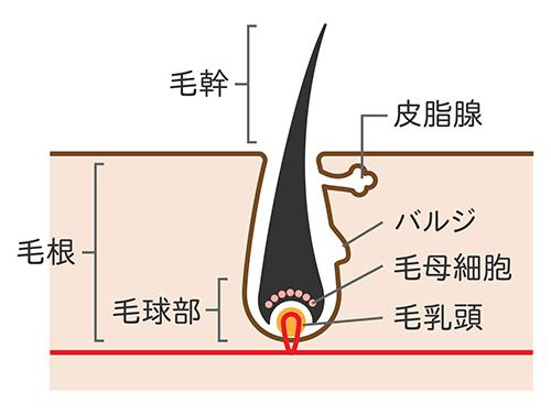 毛髪の断面図